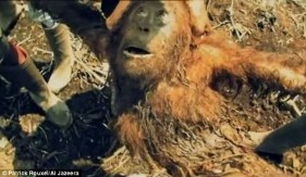 Hopeless orangutan died 3 days after this rescue attempt