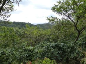 Bird Friendly Coffee Forest