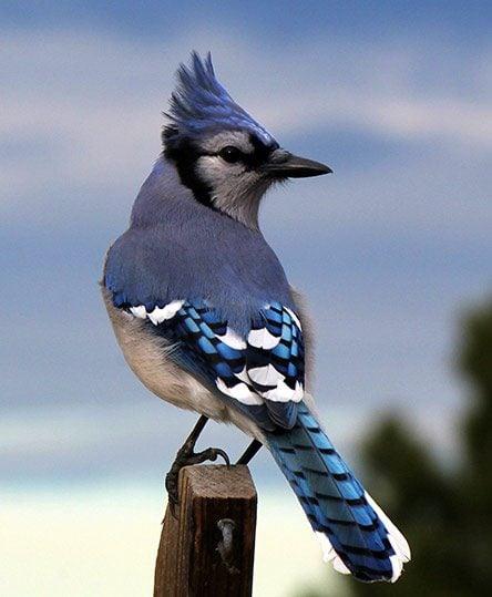meet the jays blue
