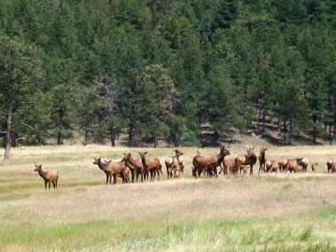 Colorado Cow Elk Hunting
