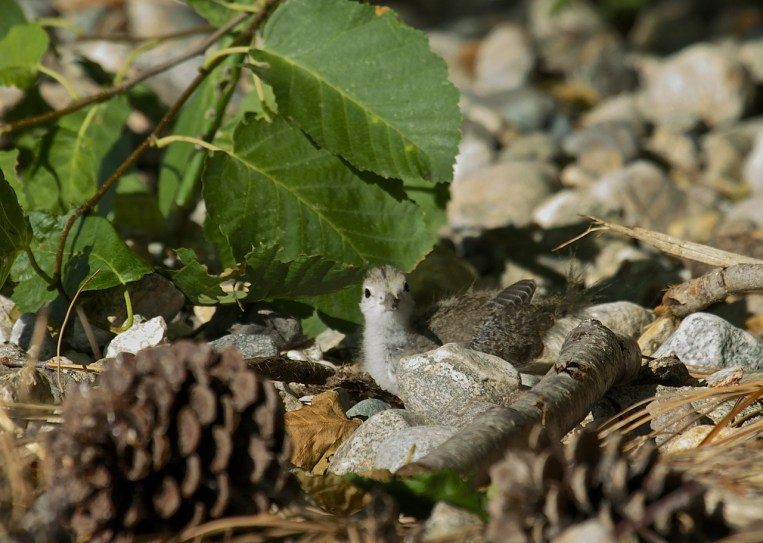 Spotted Sandpiper chick - 06