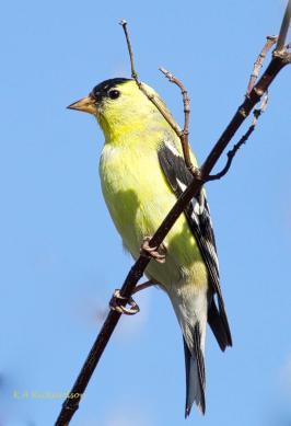 American Goldfinch in Belmont Park
