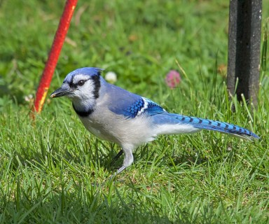 Digby Neck Blue Jay.