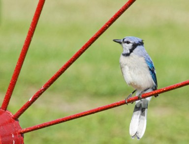 Blue Jay from our recent trip to eastern Canada; taken on Digby Neck, NS. in the yard of a very helpful resident .