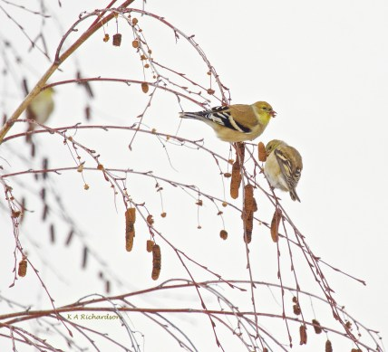 Winter American Goldfinches on Water Birch