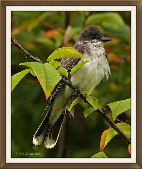 Eastern Kingbird adult male