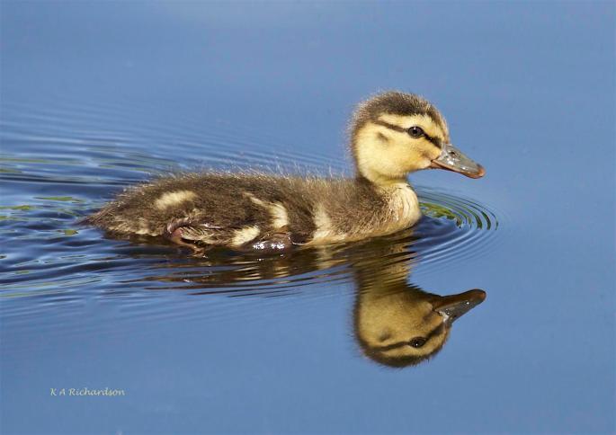 Mallard Duckling, Belmont Pond.
