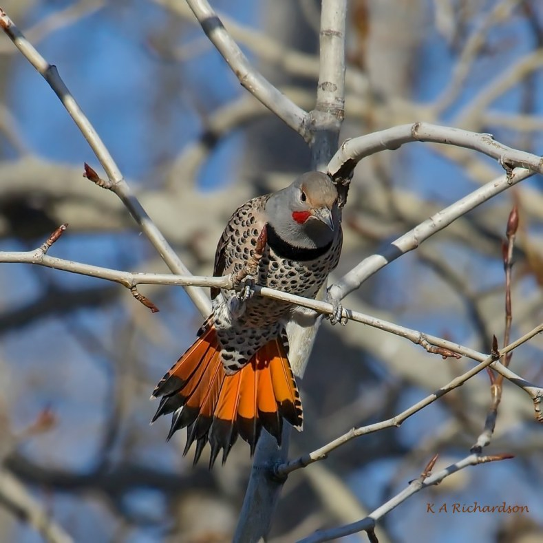 Northern Flicker on the make....