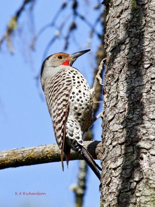 Northern Flicker on a tree. That's NOT a black cap, just a shadow. Would be cool if were a cap!