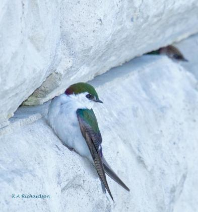 A male VGSW at one of the nesting spaces in the foundation of our condo.
