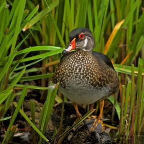Juvenile WODU, Piper Spit, Burnaby Lake, BC.