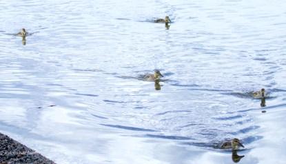 Mallard Ducklings in formation, Okanagan Lake Park South