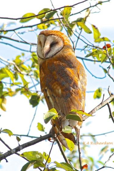 Barn Owl 120825