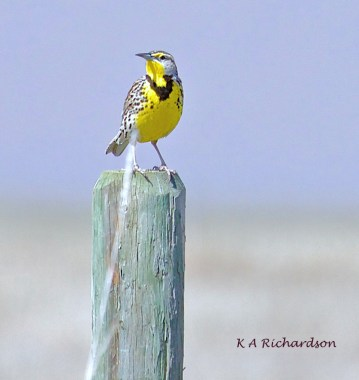 Western Meadowlark at White Lake. Damn that unseen piece of grass!