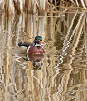 Wilbur in Golden Pond - 1