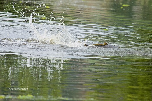 Carp evolving where voles used to play?