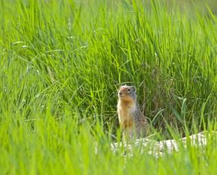 """""""I Am Curious Motley!"""" Columbia Ground Squirrel (Urocitellus columbianus)"""