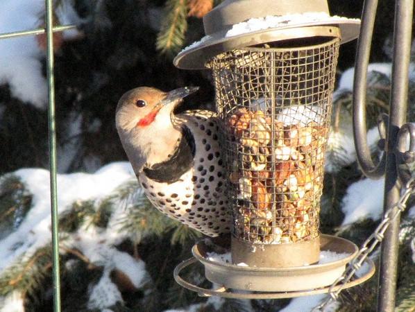 Bird Feeding Primer  Birds Calgary