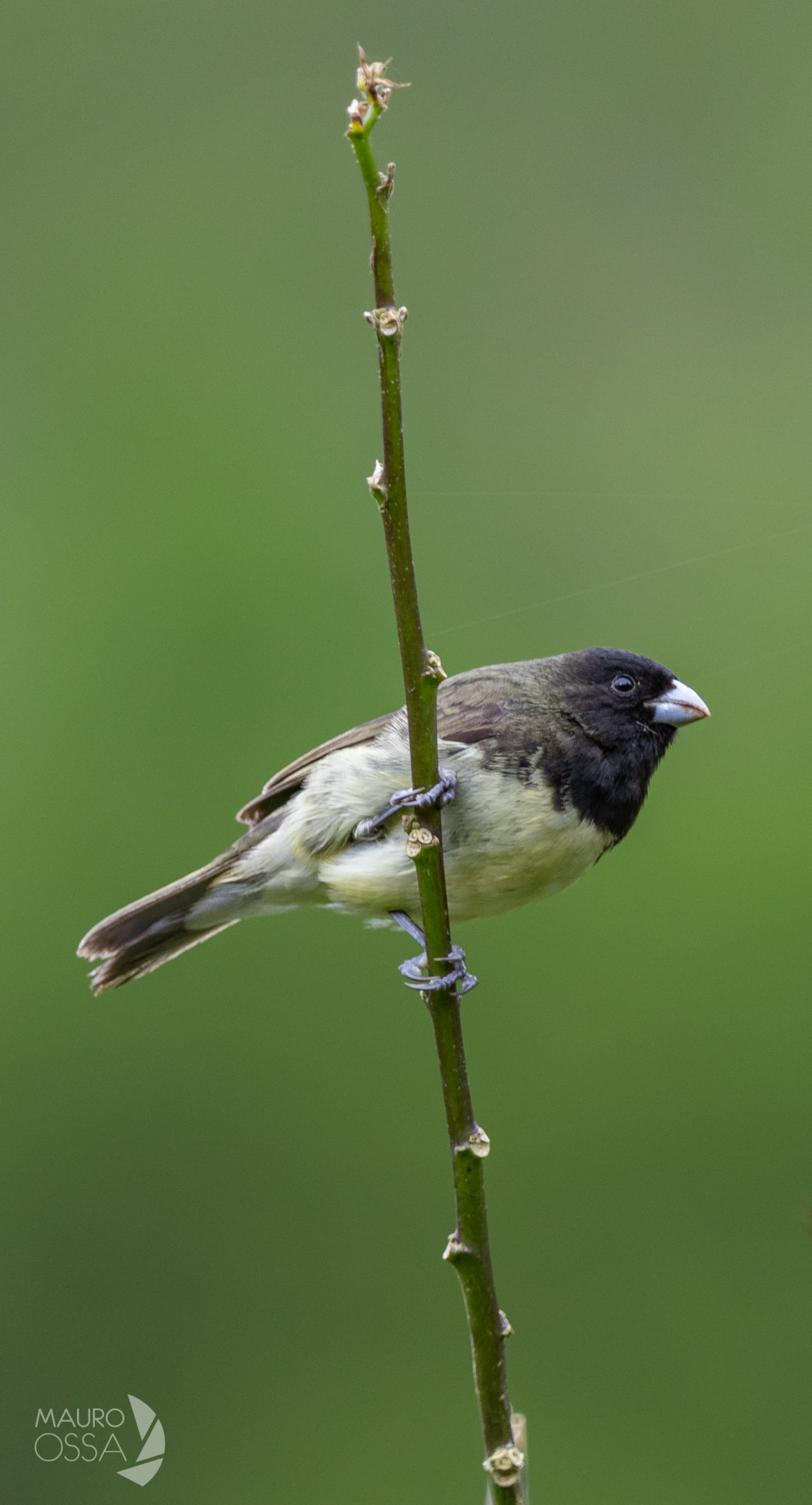 Espiguero Capuchino:Yellow-bellied Seedeater:Sporophila nigricollis