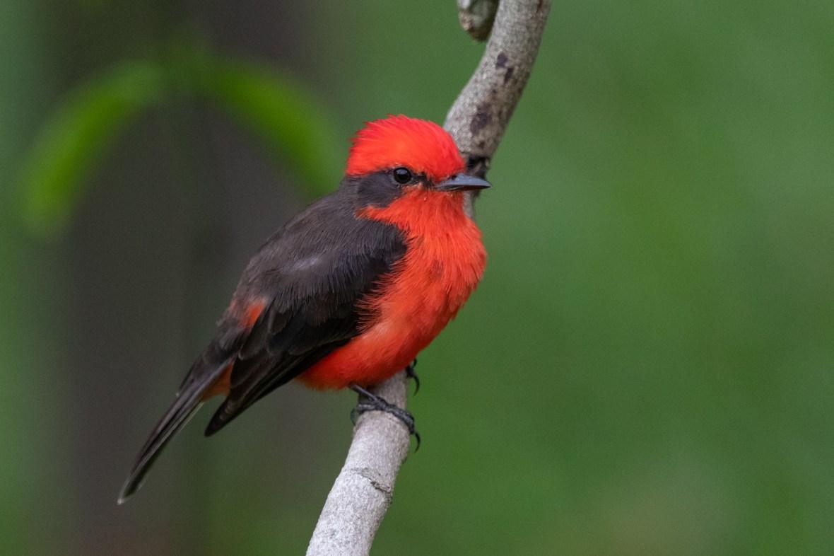 Titiribí Pechirrojo:Vermilion Flycatcher:Pyrocephalus rubinus