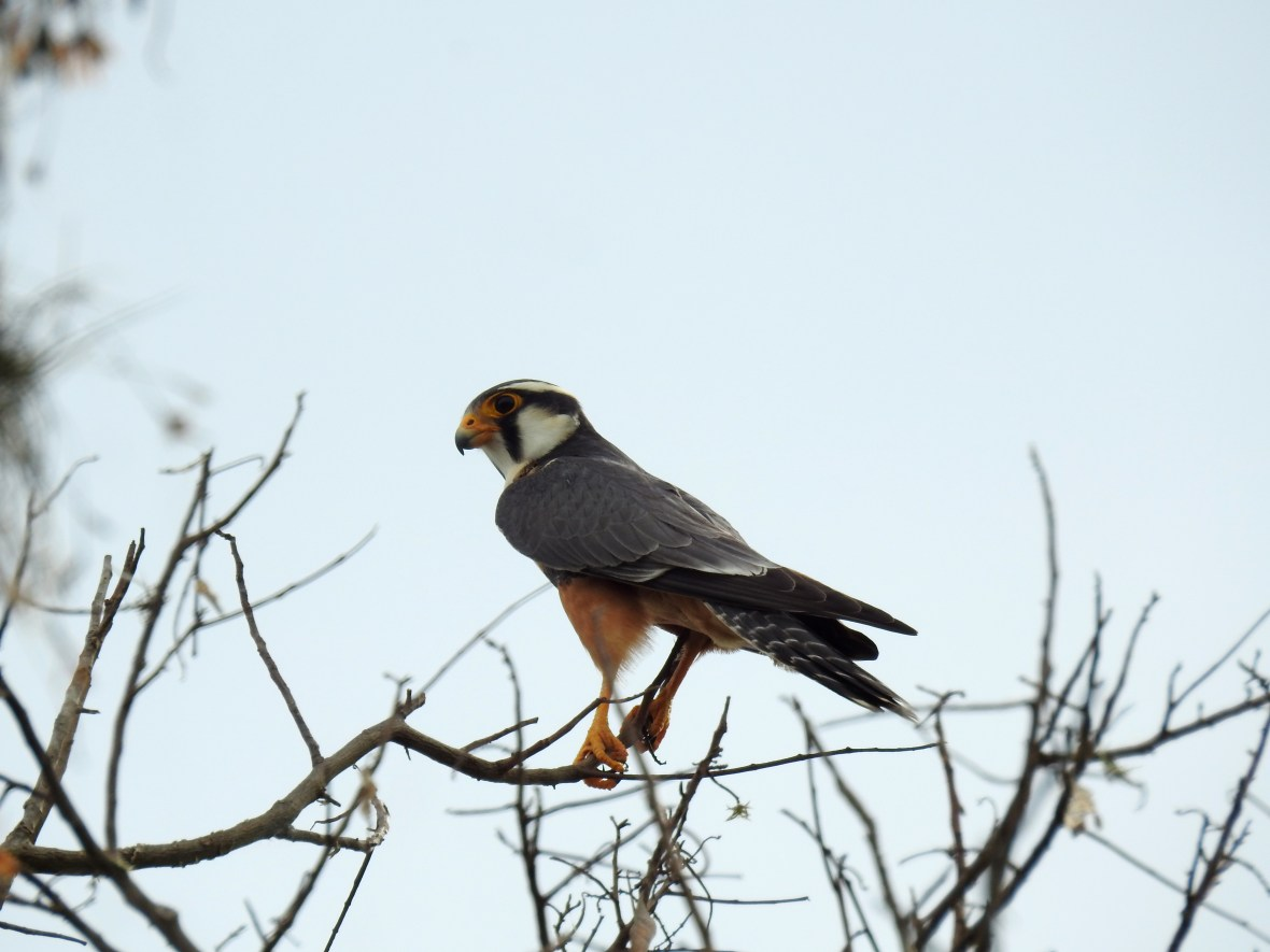 falco-femoralis-2