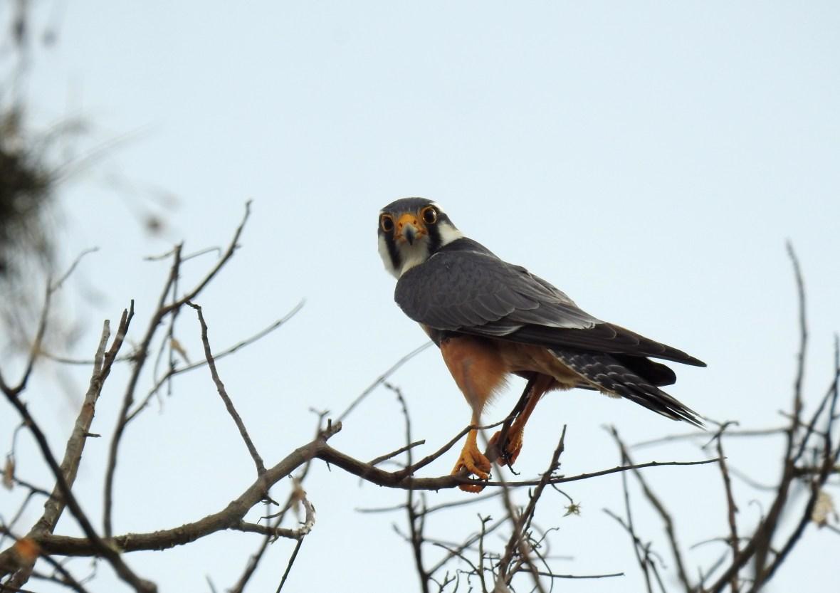 falco-femoralis