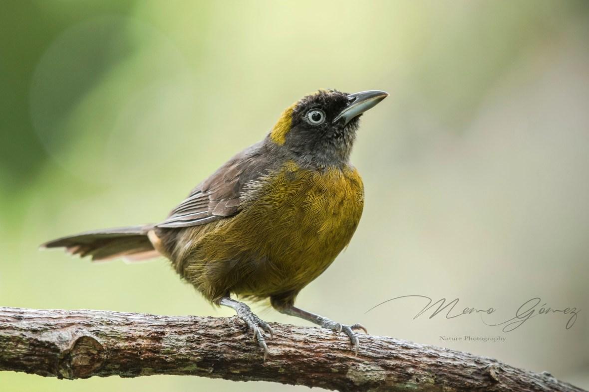 Maraquera Carisucia:Dusky-faced Tanager:Mitrospingus cassinii