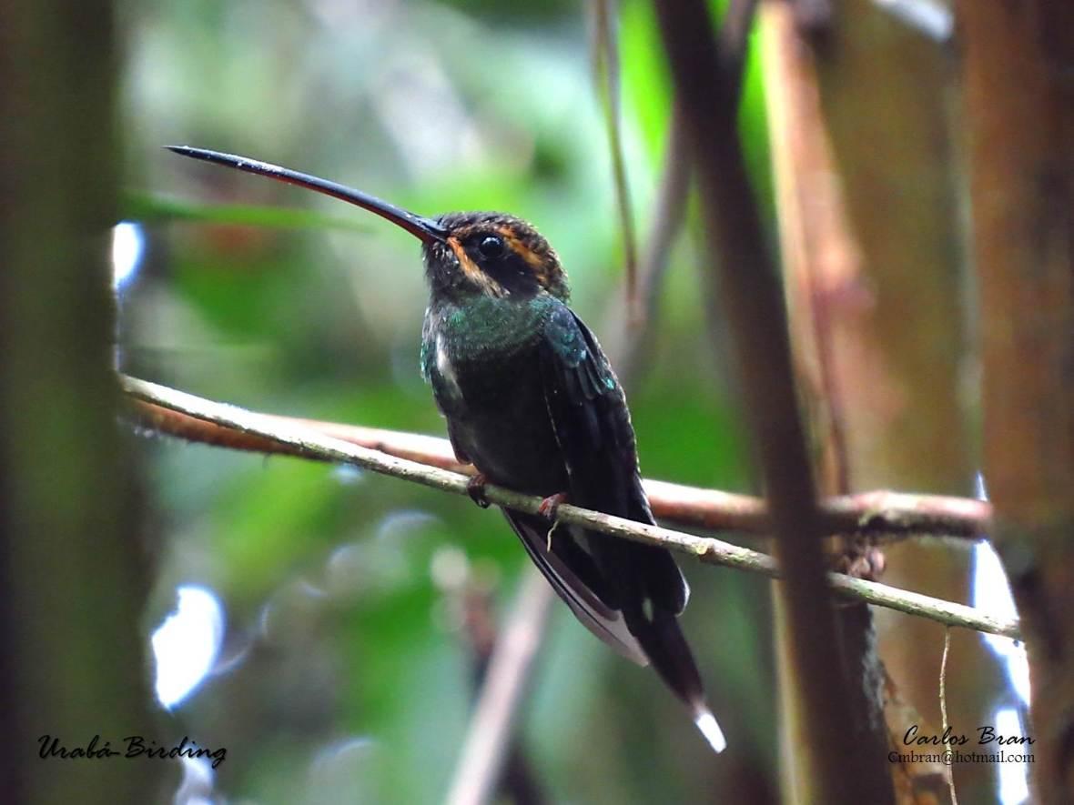 Phaethornis yaruqui