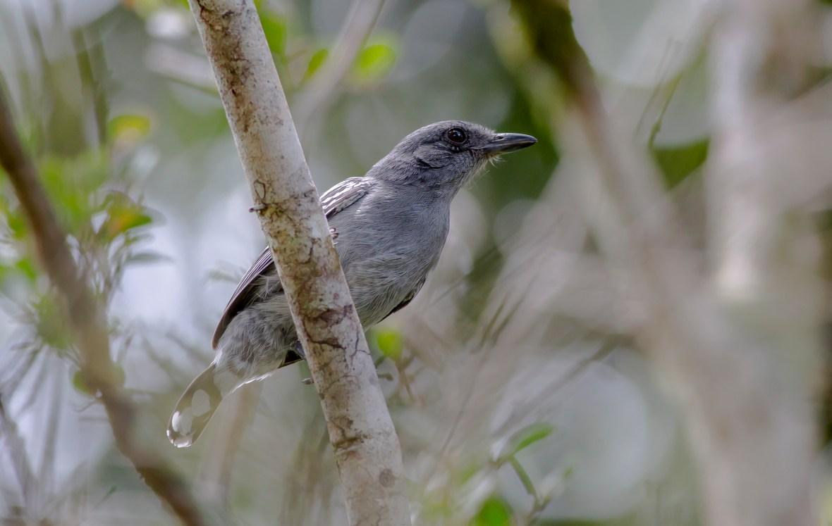 Thamnophilus amazonicus