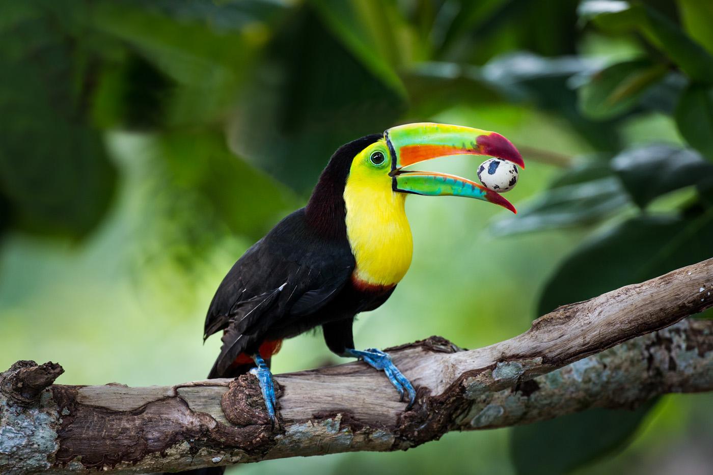 Tucán Caribeño/Keel-billed Toucan/Ramphastos sulfuratus – #OneBirdPerDay #UnAvePorDía
