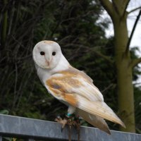 Barn Owl Facts For Kids - Barn Owl Diet & Behavior
