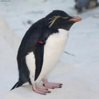 Rockhopper Penguin Facts for Kids - Rockhopper Penguin Habitat