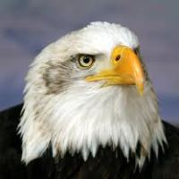 Difference Between Male And Female Eagles - Difference Between Male and Female Bald Eagles