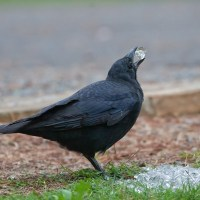 What Do Crows Eat - Crows Diet