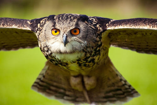 Eurasian Eagle Owl Facts Animals Of Europe