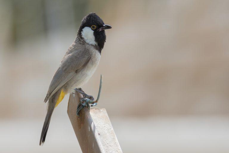 البلبل ابيض الخدين او طائر البلبل العراقي