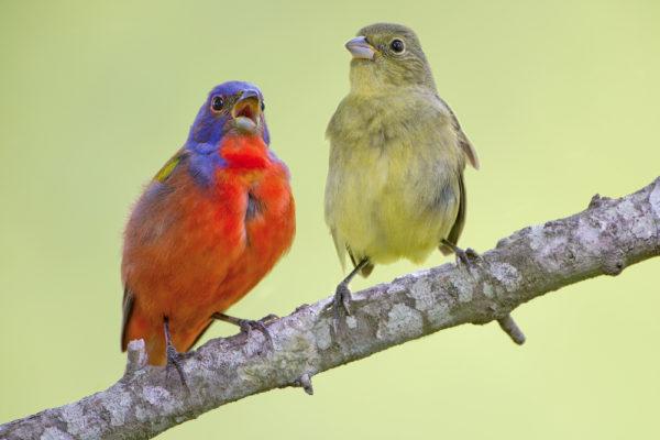 طائر الراية الملونة ذكر و انتى