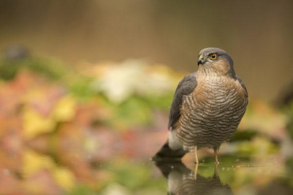 طائر الباشق