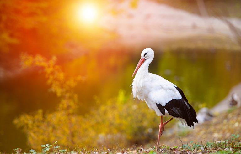 طائر اللقلق الابيض