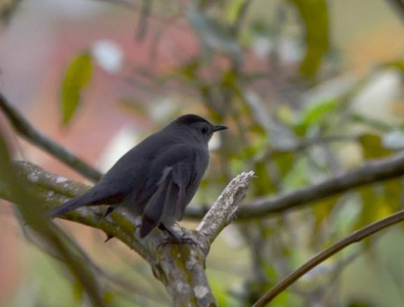 Visiting Gray Catbird