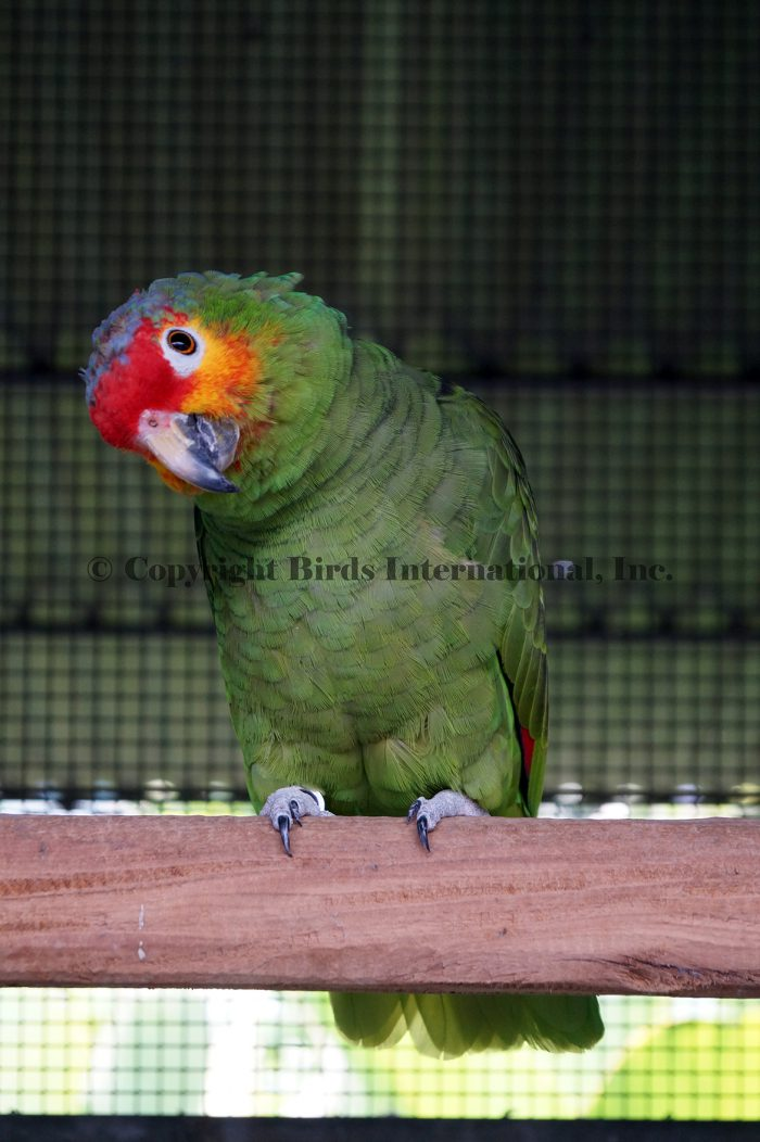red lored amazon mexican