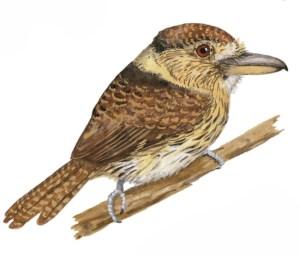 Western Striolated-Puffbird Nystalus obamai