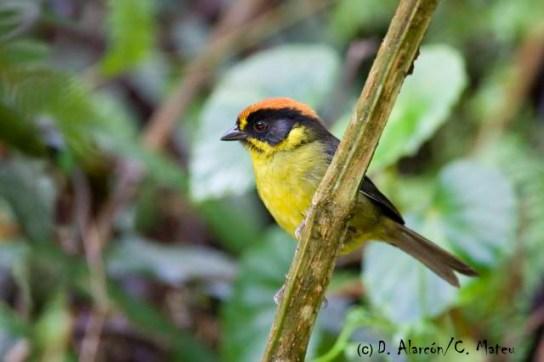 Bolivian Brushfinch (Atlapetes rufinucha). Copyright D. Alarcon/C. Mateu.