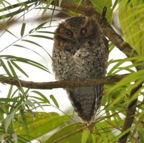 Cloud-forest Screech-Owl (Megascops marshalli). Copyright SK Herzog.