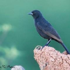 Bolivian Blackbird (Oreopsar bolivianus). Copyright D Alarcon/C Mateu.