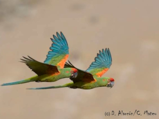 Red-fronted Macaw (Ara rubrogenys). Copyright D Alarcon/C Mateu.