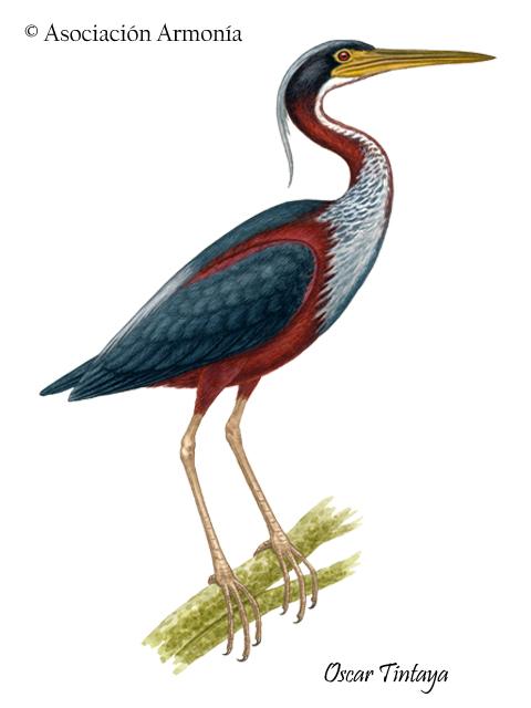 Agami Heron (Agamia agami)