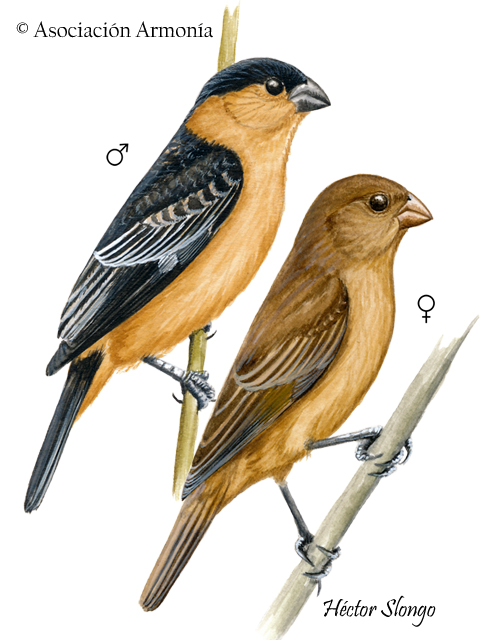 Black-and-tawny Seedeater (Sporophila nigrorufa)