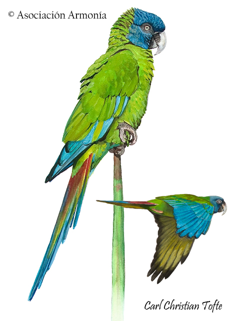 Blue-headed Macaw (Primolius couloni)