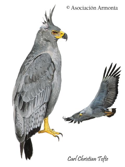 Chaco Eagle (Buteogallus coronatus)